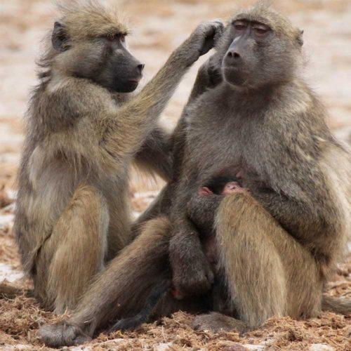 Baboons-saf4africa