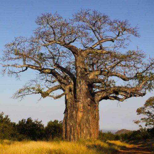 Baobab-Gonerazhou-National-Park-saf4africa