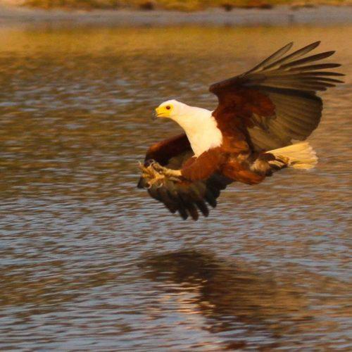 Fish-Eagle-saf4africa