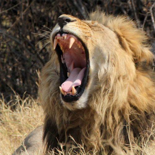Male-Lion-saf4africa