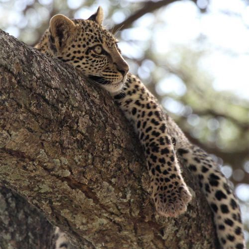 baby-leopard-serengeti-safaris4africa