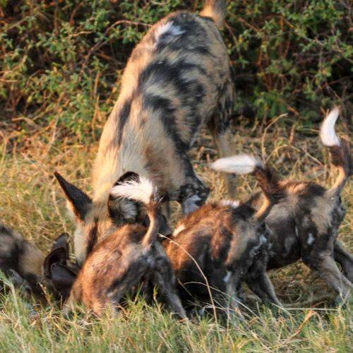 wild-dogs-saf4africa