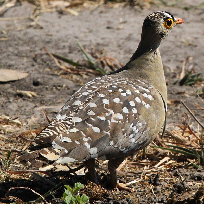 botswana-birdlife