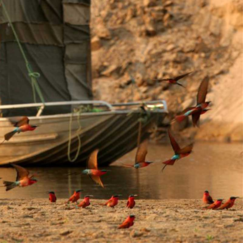 carmine-bee-eaters-zambia-saf4africa