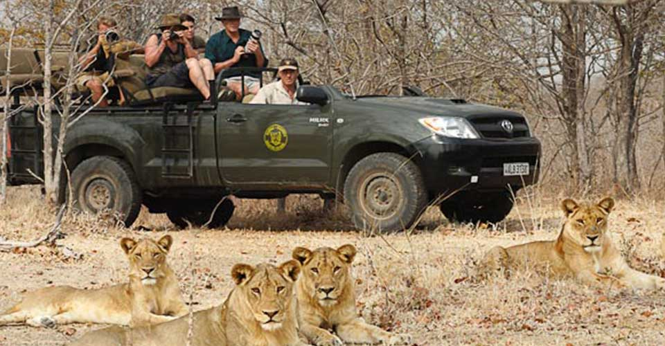 game-drive-lions-information-zambia-saf4africa