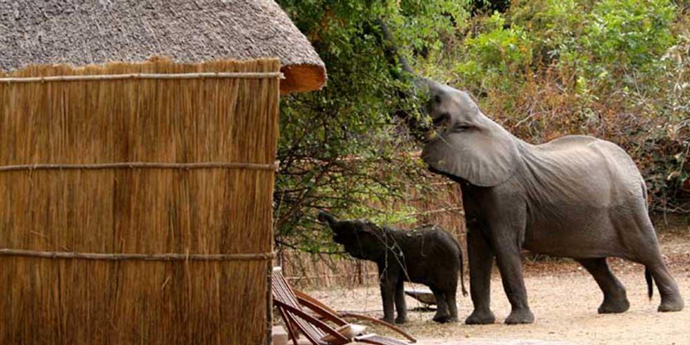 kaingo-elephants-information-zambia-saf4africa