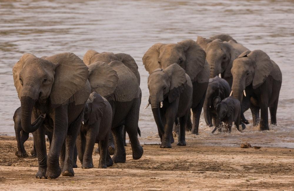 Elephants Saf4Africa