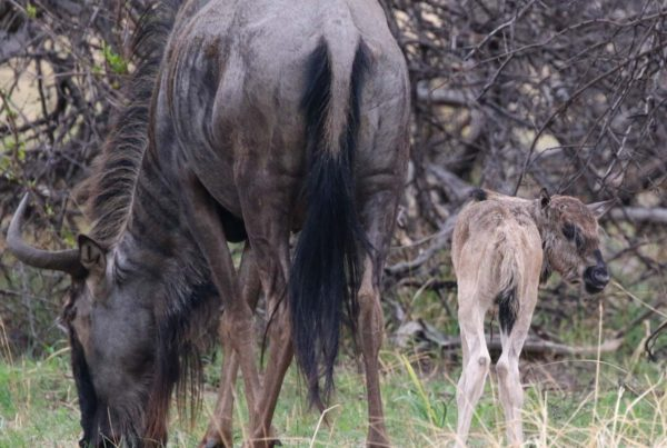Grazing-Baby-Wildebeest-with-Mum