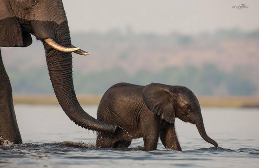 Elephants in Chobe Safaris 4 Africa